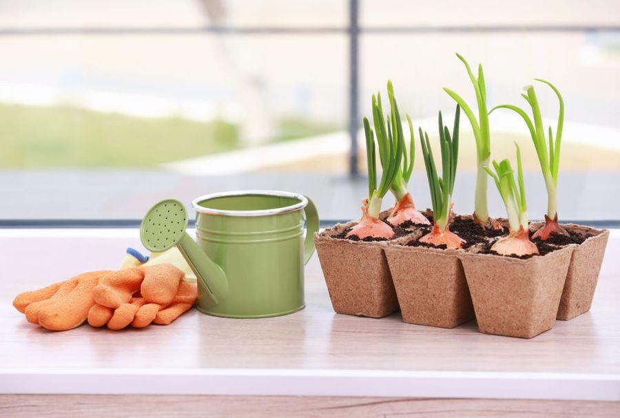 Лук - наиболее популярное растение для высаживания дома