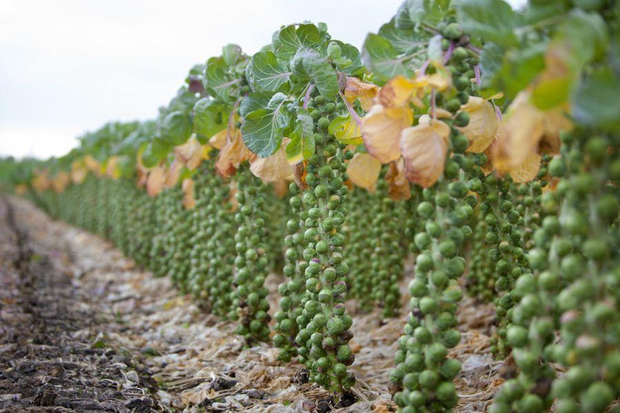Брюссельская капуста похожа на пальму, только плоды её располагаются ниже основных листьев
