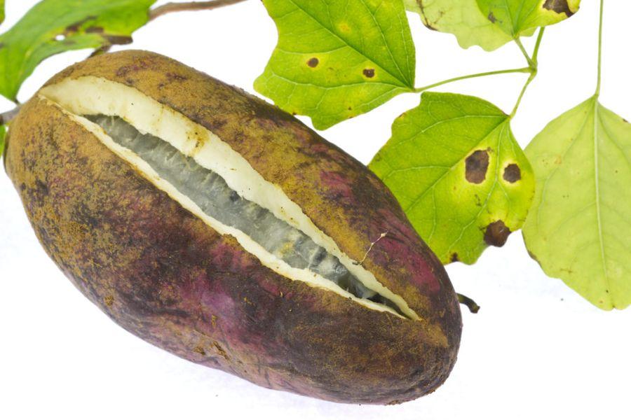 Акебия - экзотическая лиана с ароматными съедобными плодами