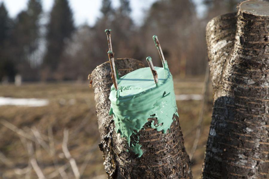 После прививки деревья также нуждаются в лечении ран