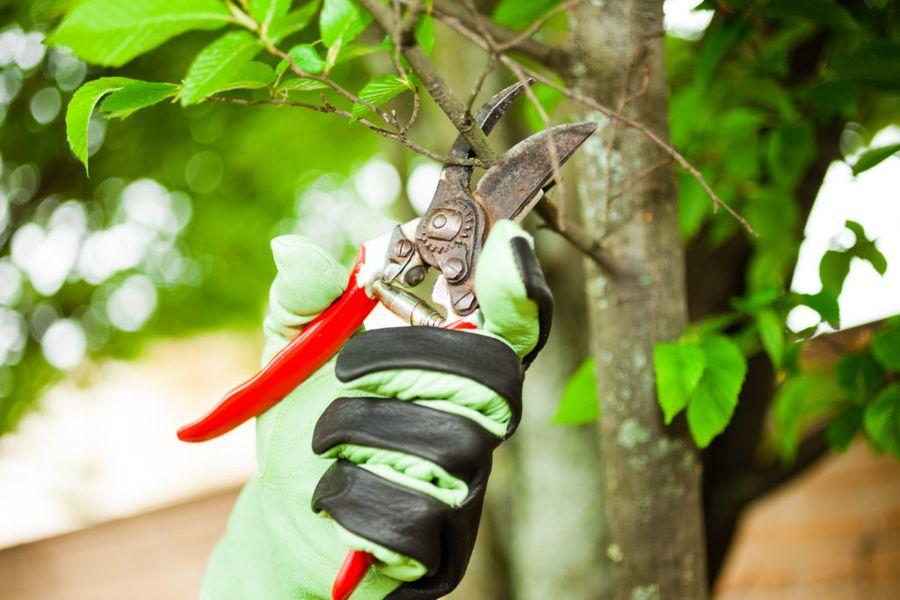 Обрезку деревьев необходимо проводить чистыми инструментами