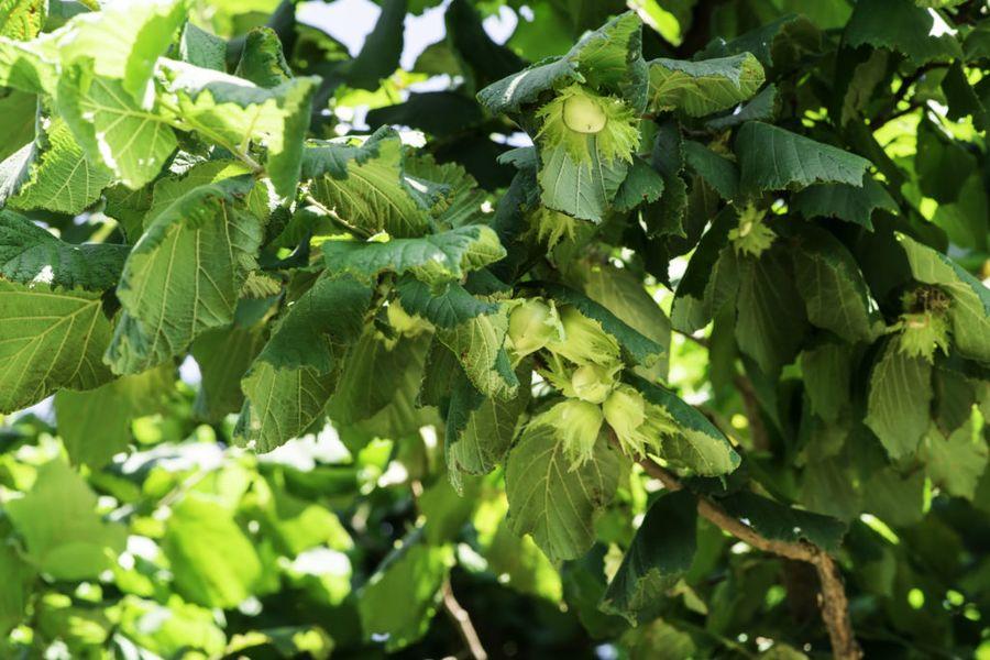 Фундук - близкий родственник лещины, поэтому земля из-под лесного собрата поможет ореху прижиться быстрее