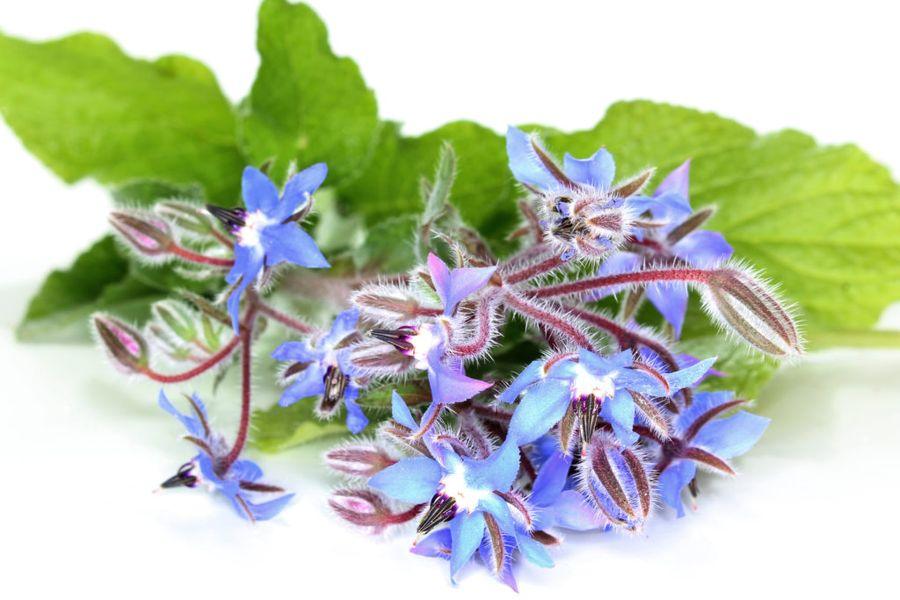 Цветки огуречной травы напоминают звёздочку василькового оттенка