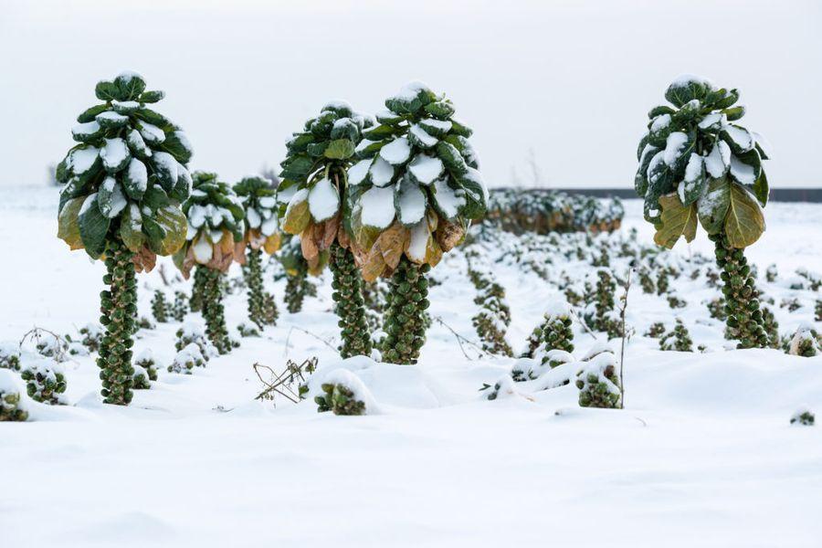Брюссельская капуста устойчива к холодам и долго сохраняется под снежной шапкой
