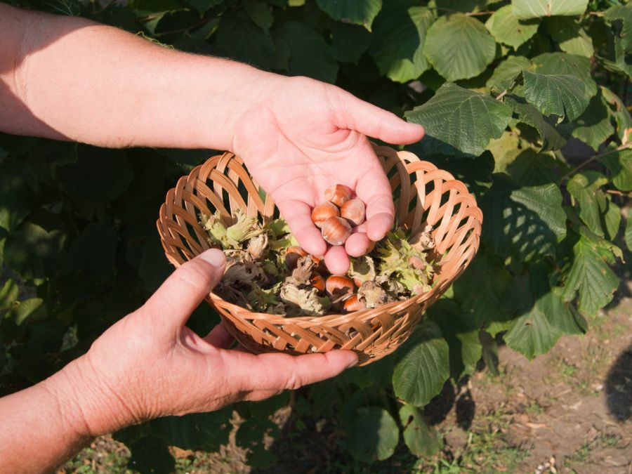 Приятно гулять по ореховому саду и собирать плоды