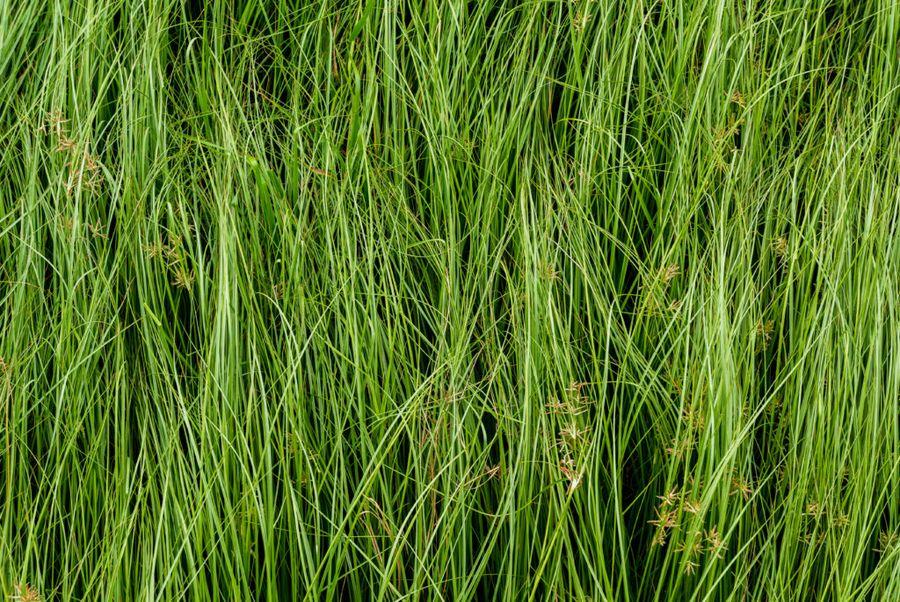Чуфа очень похожа на сорную траву, поэтому садоводы её часто скашивают