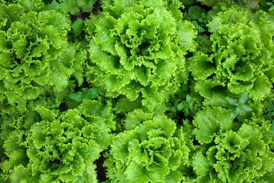 Листовой салат любит свет и влагу, поэтому его надо зимой подсвечивать и часто поливать