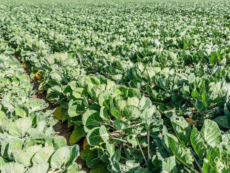 Брюссельская капуста не терпит подкормок в момент роста и созревания плодов