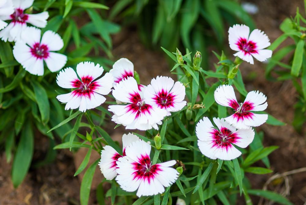 На стебле у большинства видов вырастает один цветок из пяти лепестков