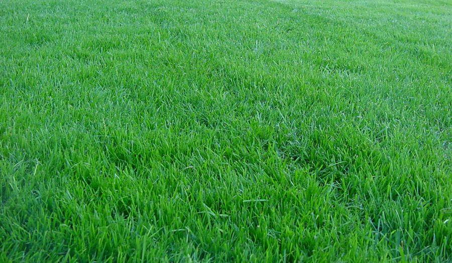 Райграс пастбищный многолетний фото и описание характеристики газонной травы Норма высева на 1 га
