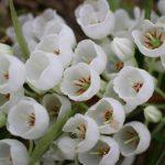 Зенобия цветок