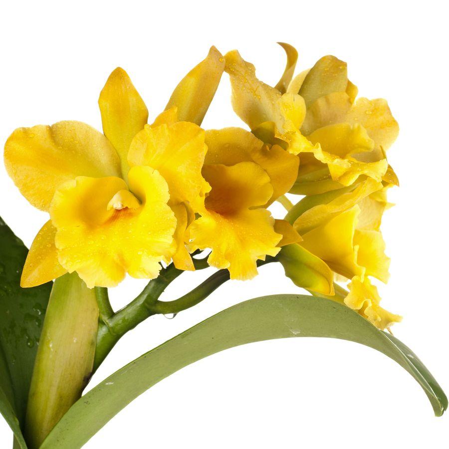 Цветки каттлеи варьируются от мелких до крупных