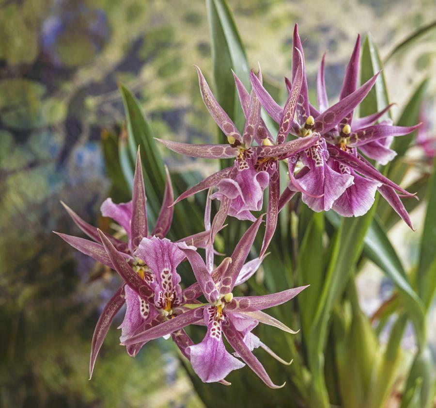 Орхидные обитают на всех континентах, кроме Антарктиды.