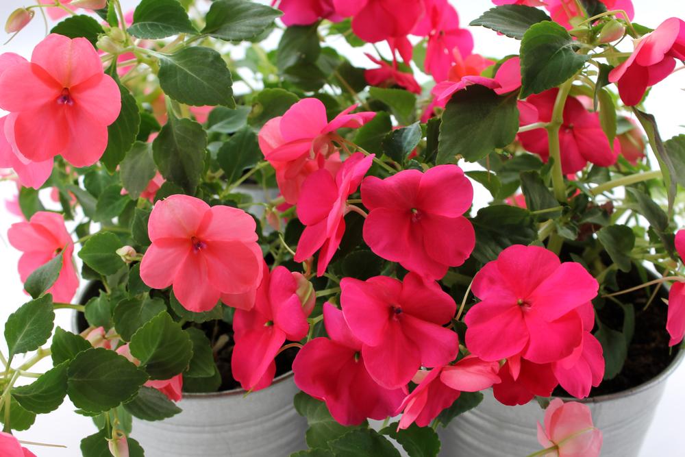 При нехватке тепла и света растение чаще всего начинает сбрасывать листья — следите за этим признаком