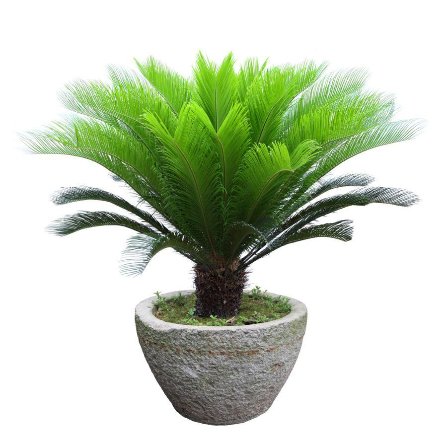 Комнатные пальмы впишутся в любой дизайн помещения