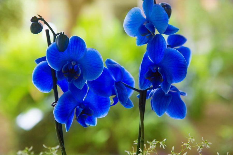 Фаленопсис - популярная орхидея для комнатного выращивания