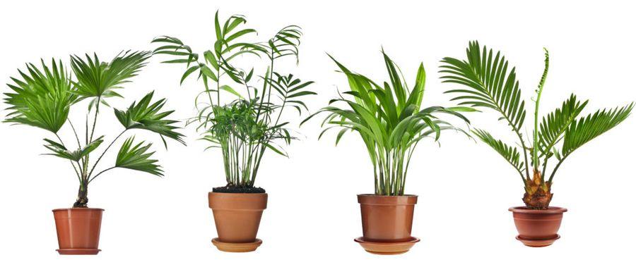 Комнатные пальмы эффектно смотрятся в интерьере любой квартиры