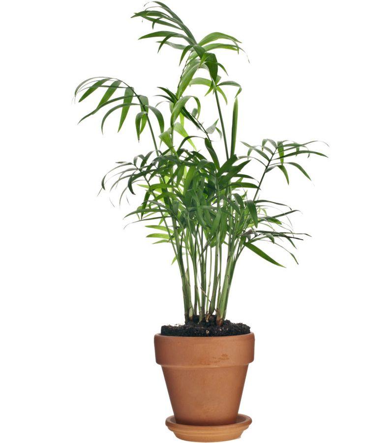 Ховея - распространённая комнатная пальма