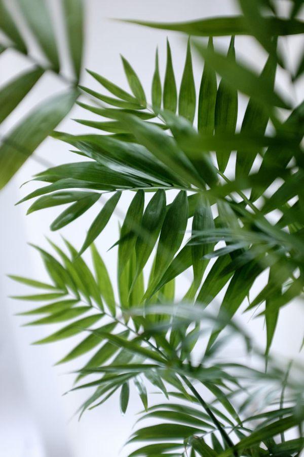 Хамедорея очищает воздух от вредных химических соединений