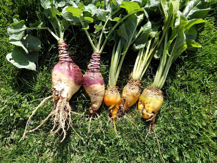 Репа, свекла, капуста и брюква - родственники, поэтому условия выращивания схожи