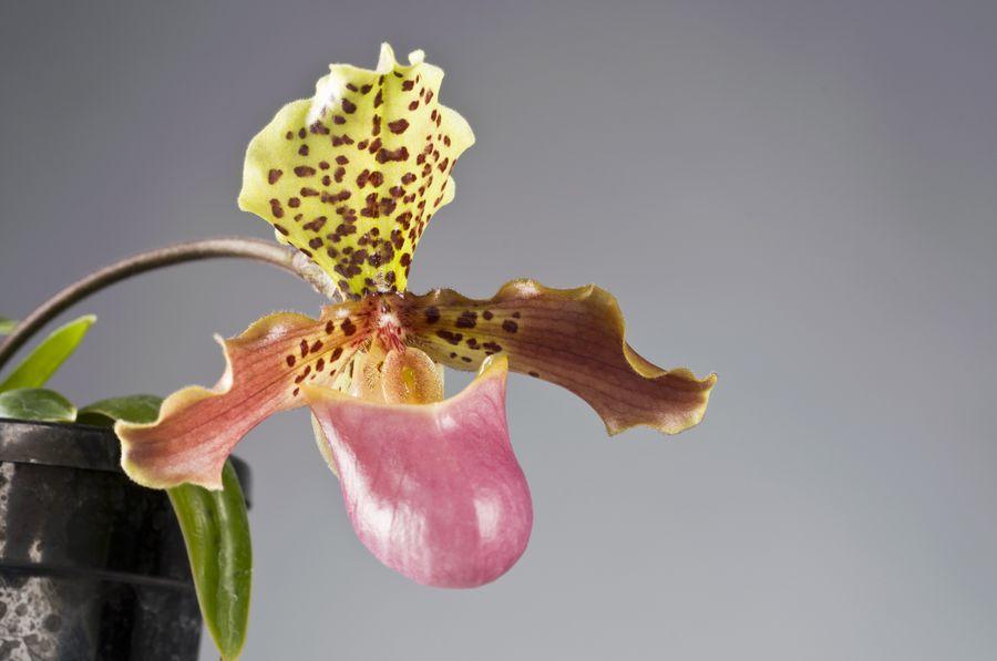 «Венерин башмачок» - народное название пафиопедилума - дано из-за необычной формы нижнего лепестка