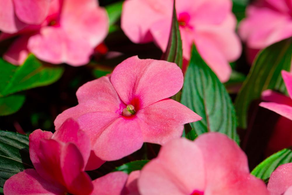Одна из особенностей растения — хорошо и часто цветет в тесном горшке