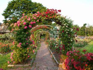 Плетистая роза прекрасно подходит для озеленения участка