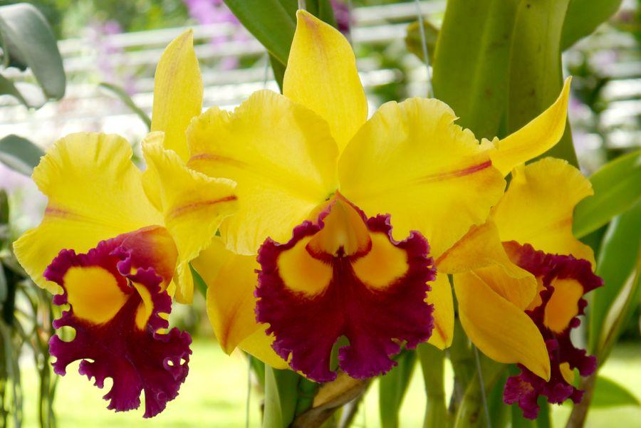 Каттлею называют королевой орхидей