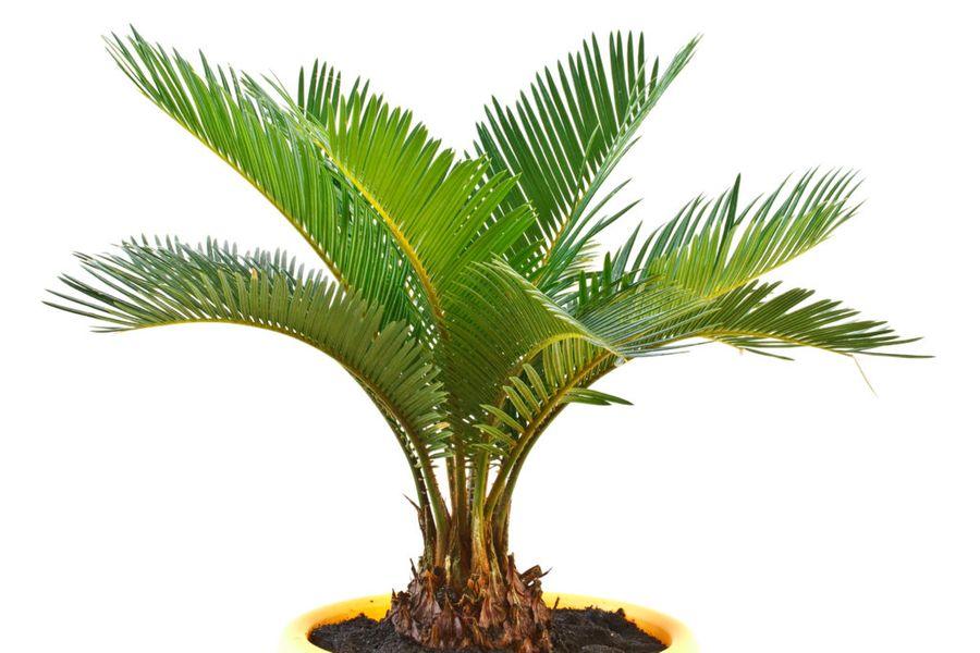 Комнатные пальмы по форме листьев делятся на веерные и перистые