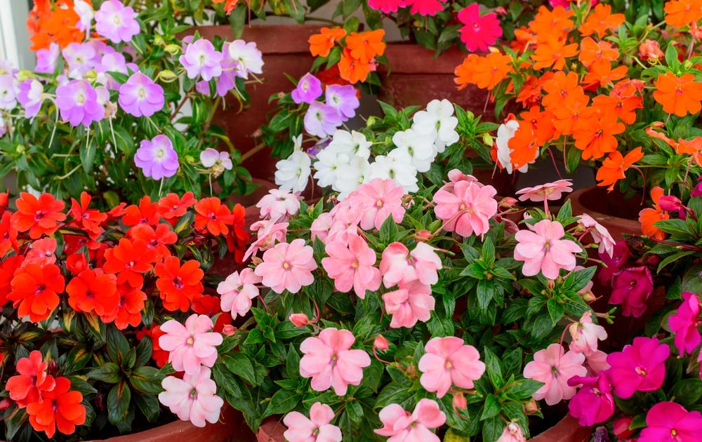 Цветок называют «недотрогой» из-за того, что у него быстро осыпаются семена