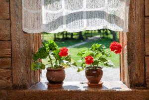 Чтобы понять, почему не цветет герань, изучите требования по уходу