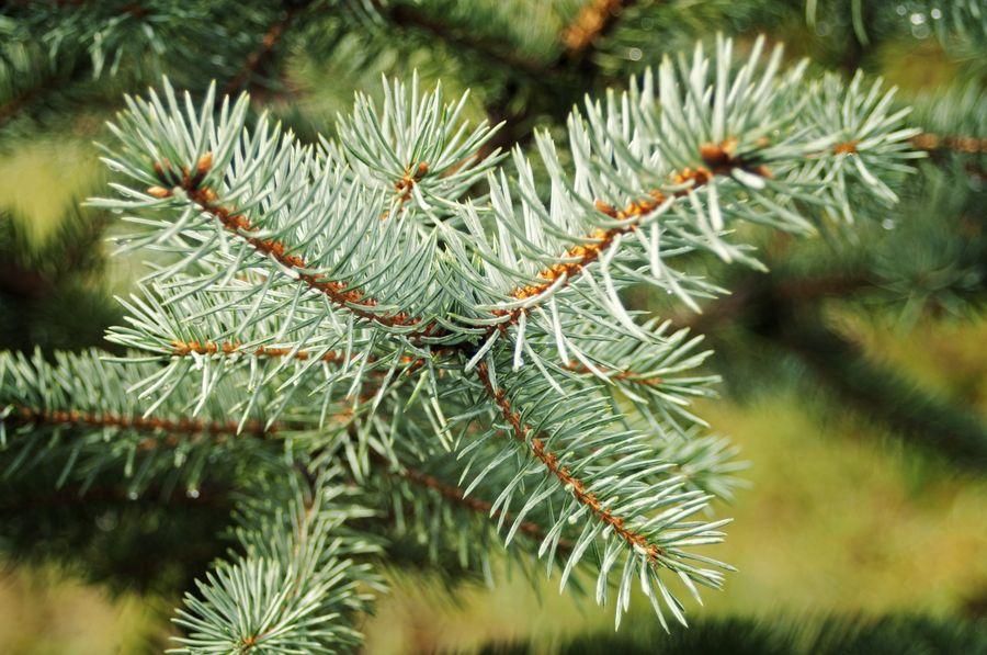 Чтобы ветви ели дольше оставались свежими, ежедневно обрызгиваем водой