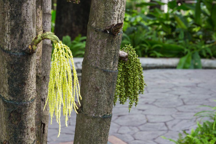 Так кариота изящная цветёт в природных условиях