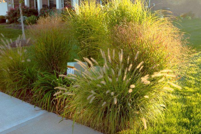 декоративные травы и злаки для сада