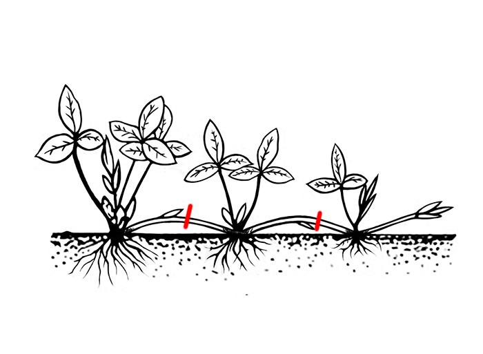 Размножение усами или наземными столонами способствуют быстрому окоренению момлодого растения