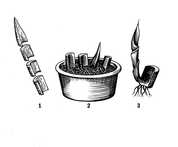 Схема 6 Размножение листьями - черенками. 1 - раздедённый на черенки лист; 2- посадка частей листа; 3 - молодой побег.