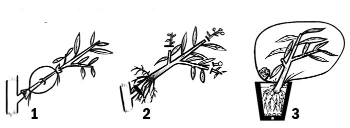 Схема 1 Размножение с помощью воздушных отводок. 1 - Материнская ветвь; 2 - Образование корней в месте удаления коры; 3 - Сам процесс пересадки.