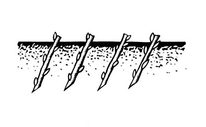 Схема 7. Размножение черенками.