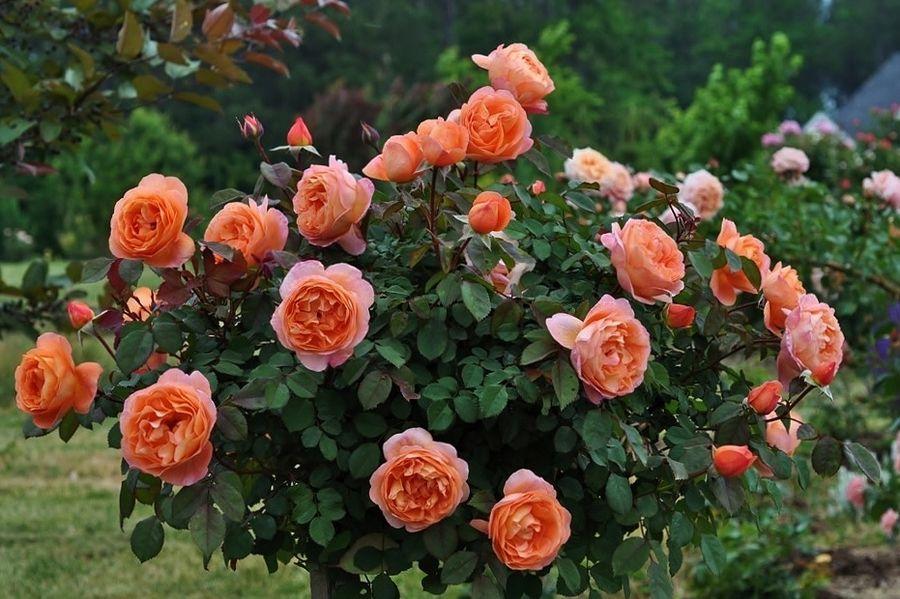 Роза Клэр Остин: описание, фото, отзывы, посадка и уход