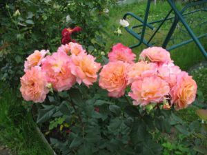 Роза Августа