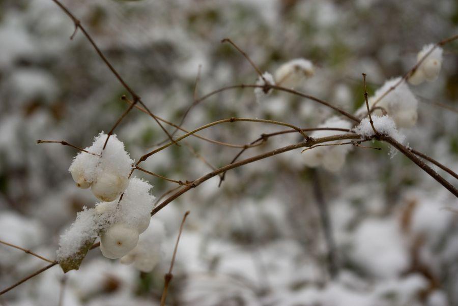 Именно зимой понимаешь, что красоту снежноягодника или рябины