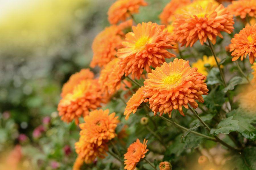 Мелкоцветковые хризантемы подходят для центральных регионов России