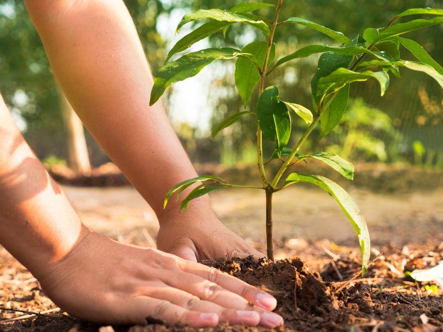 Самостоятельное выращивание рассады гарантирует крепкие и здоровые растения для высадки в открытый грунт