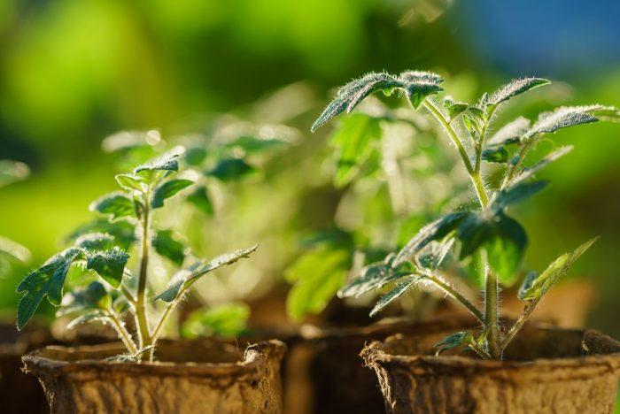 Выращивание рассады станет менее хлопотным делом, если знать основные правила посадки растений