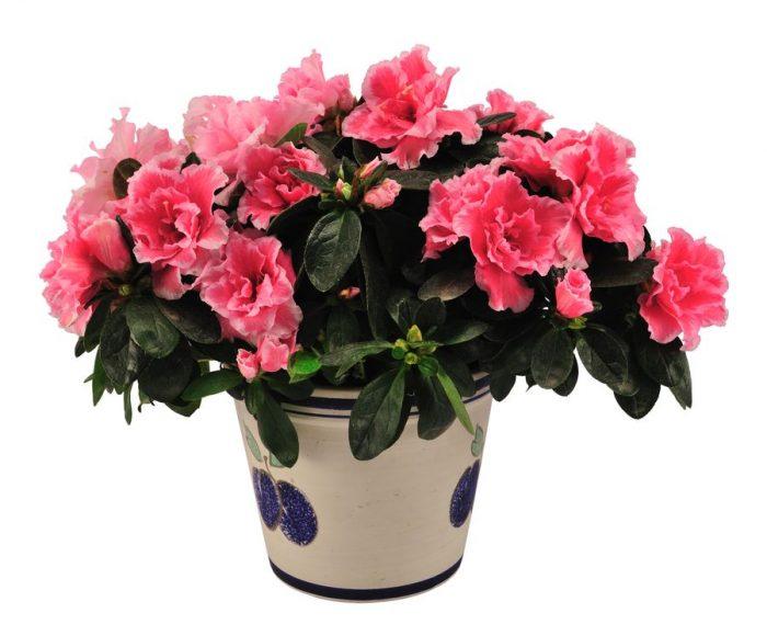 Азалию часто приобретают именно зимой, чтобы любоваться её цветами