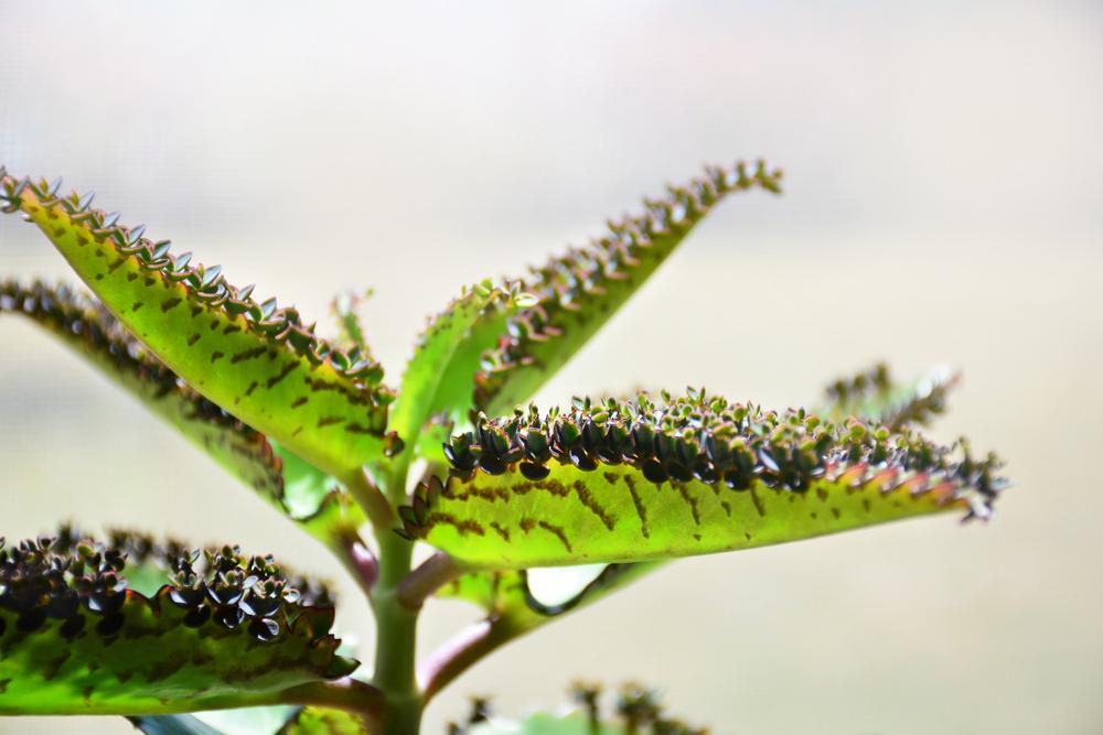 Верхушку цветка можно срезать, если он растет слишком быстро. Срезанную часть используют в качестве черенка для укоренения