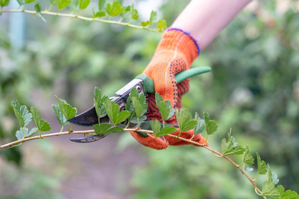 Оптимально обрезать кусты осенью, а весной просто убирать сухие ветки