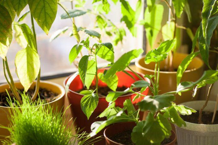 Между окном и растением лучше оставить некоторое расстояние