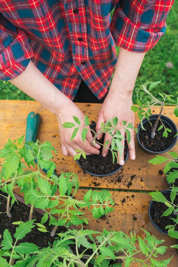 При загущении сеянцев рассаду лучше пересадить в другие ёмкости