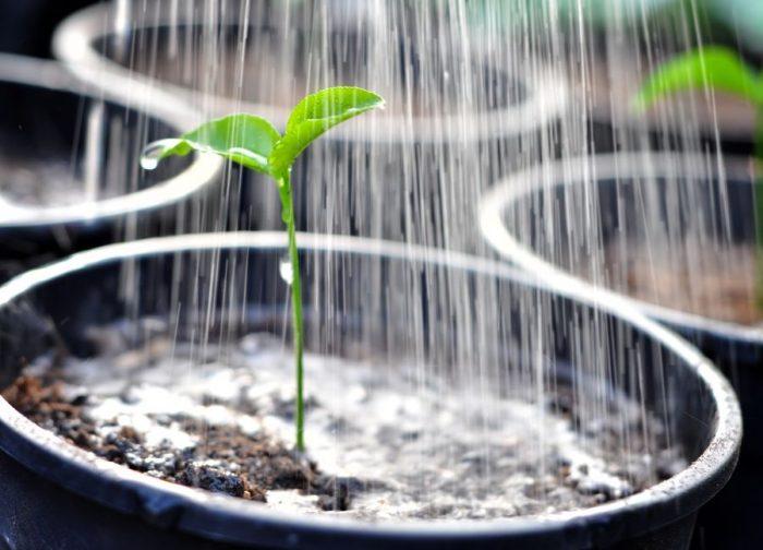 Поливать рассаду лучше утром водой комнатной температуры